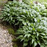 Нosta lancifolia
