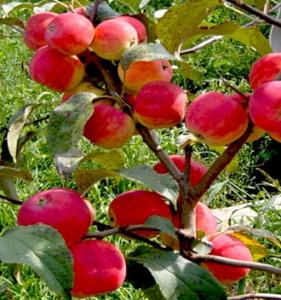 Яблоня подарок садоводам описание отзывы