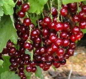 Алтайская рубиновая