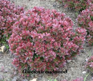 Барбарис обыкновенный пурпурнолистный