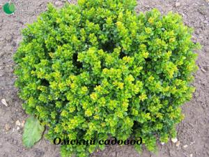 Барбарис обыкновенный зеленолистный
