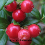 Брусника «Ред Перл» (красная жемчужина)