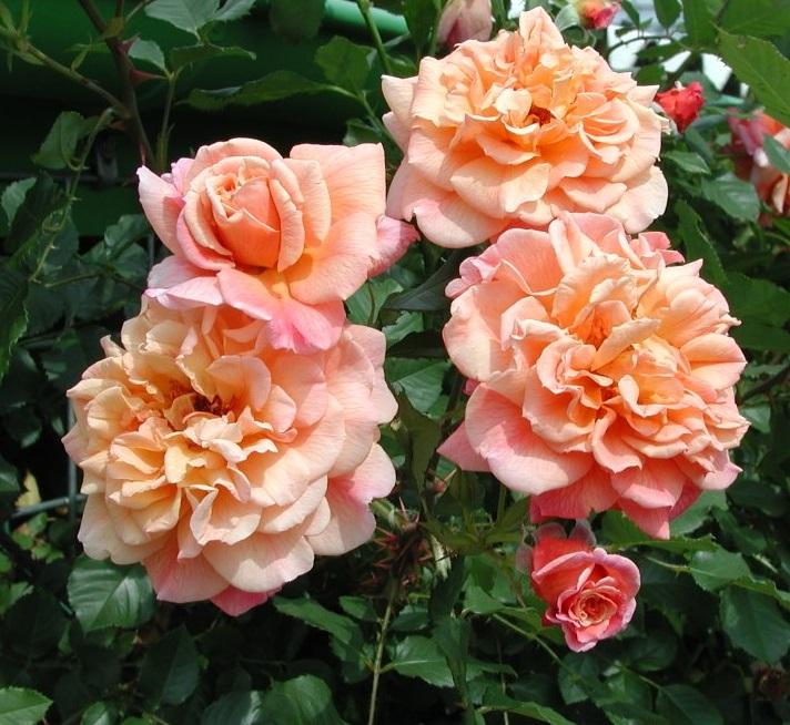 Где купить саженцы плетистой розы фигура в москве что сделать в подарок мужчине