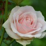 Светло-розовая чайно-гибридная. Питомник Омский Садовод.