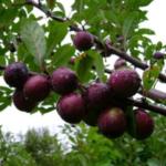Сливово-вишневый гибрид Мейнор. Питомник Омский Садовод.