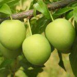 Сливово-вишневый гибрид Пираминдальный. Питомник Омский Садовод.