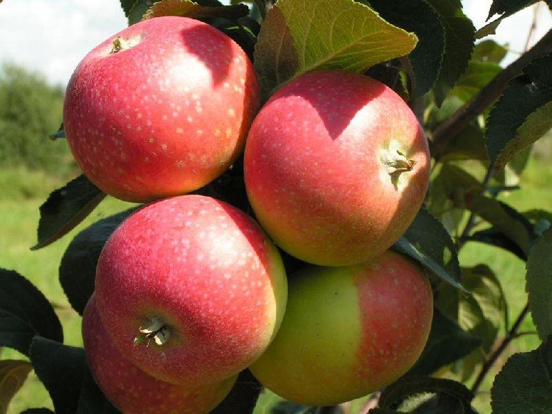 Подарок садоводам яблоня