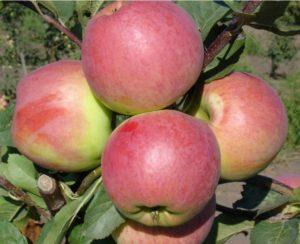 Яблоня Превосходное розовое. Питомник Омский Садовод.