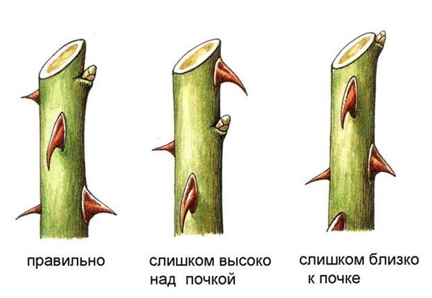 Саженцы - Розы: посадка и уход. Питомник Омский Садовод.